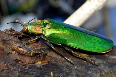 แมลงทับตัวเป็นแมลงที่มีความสวยงามมากๆและเริ่มจะสูญพันธุ์