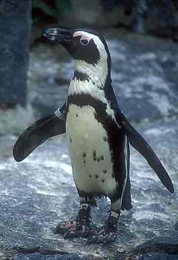 นกเพนกวินน่ารักคือสัตว์ปีกที่บินไม่ได้