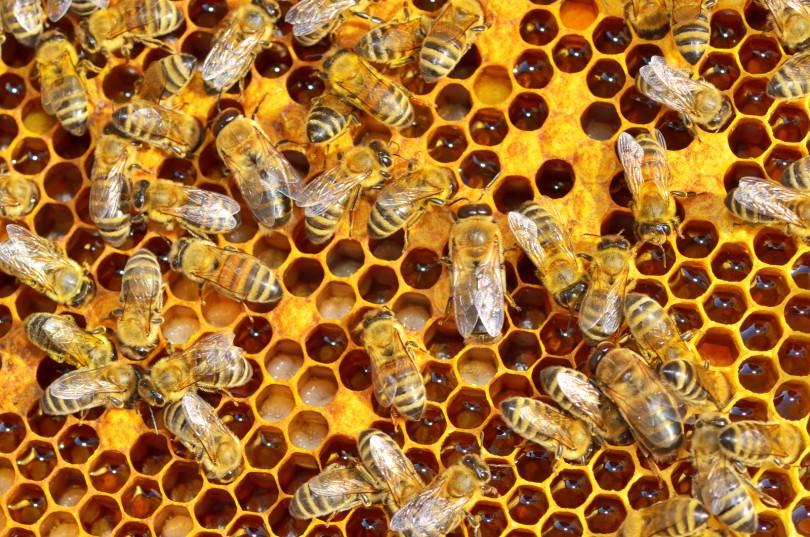 ผึ้งสัตว์ปีกที่มีทั้งคุณและโทษ