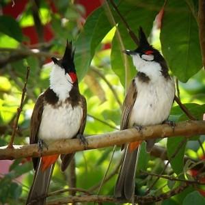 Pycnonotus-jocosus-030910-05