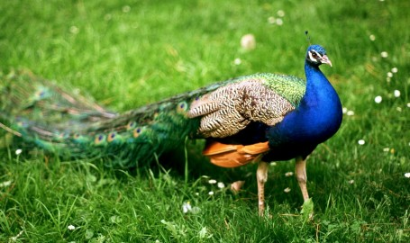 indian-blue-peacock