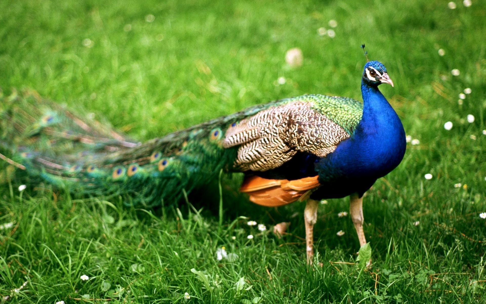 สัตว์รักอิสระจะอยู่เป็นคู่เมื่อผสมพันธ์นกยูงสัตว์ปีกที่มีความสวยงาม