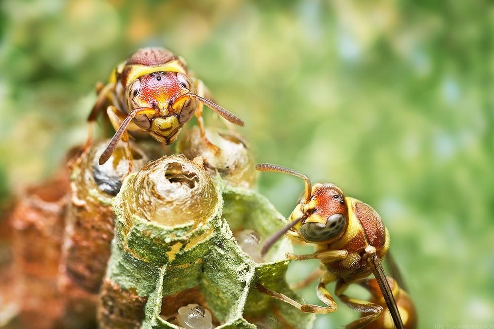 สัตว์ที่คล้ายต่อผึ้งที่มีพิษเป็นอันดับสองของสัตว์ปีกจำพวกตัวเล็ก