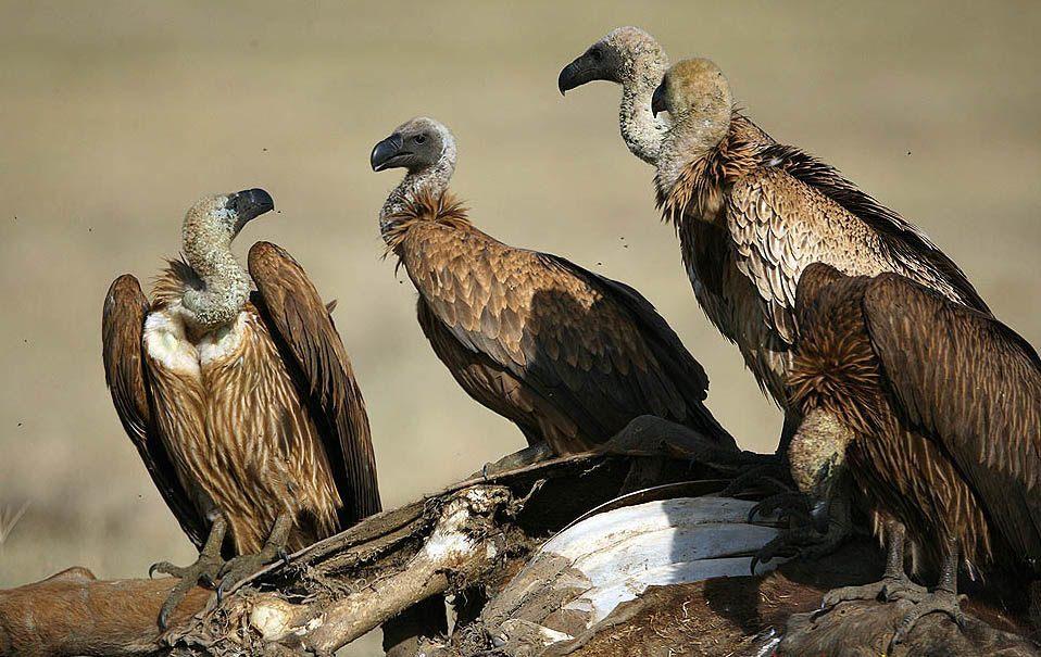 แร้ง จากนกที่เหลือเฟือในไทย สุดท้ายกับกลายเป็นแค่ตำนาน