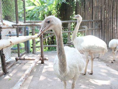 นกเรีย..ขาแข็งตัวใหญ่บินไม่ได้ ตัวผู้ฟักไข่..ชอบไล่ตัวเมียกระเจิง