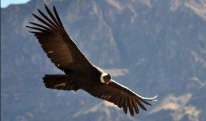 americanbuff-Andean Condor