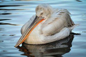 americanbuff-Dalmatian Pelican