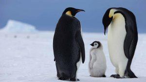 americanbuff-Emperor Penguin