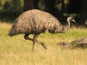 americanbuff-Emu