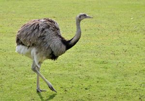americanbuff-Greater Rhea