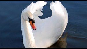 americanbuff-Mute Swan