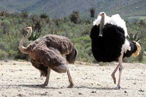americanbuff-Ostrich