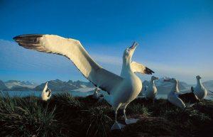 americanbuff-Wandering Albatross