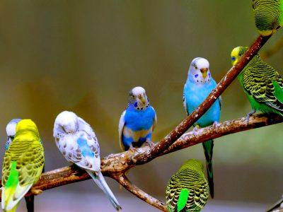 นกสวยงามที่มนุษย์นิยมนำมาเป็นเลี้ยง
