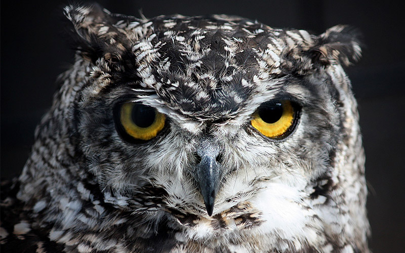 Thai owl